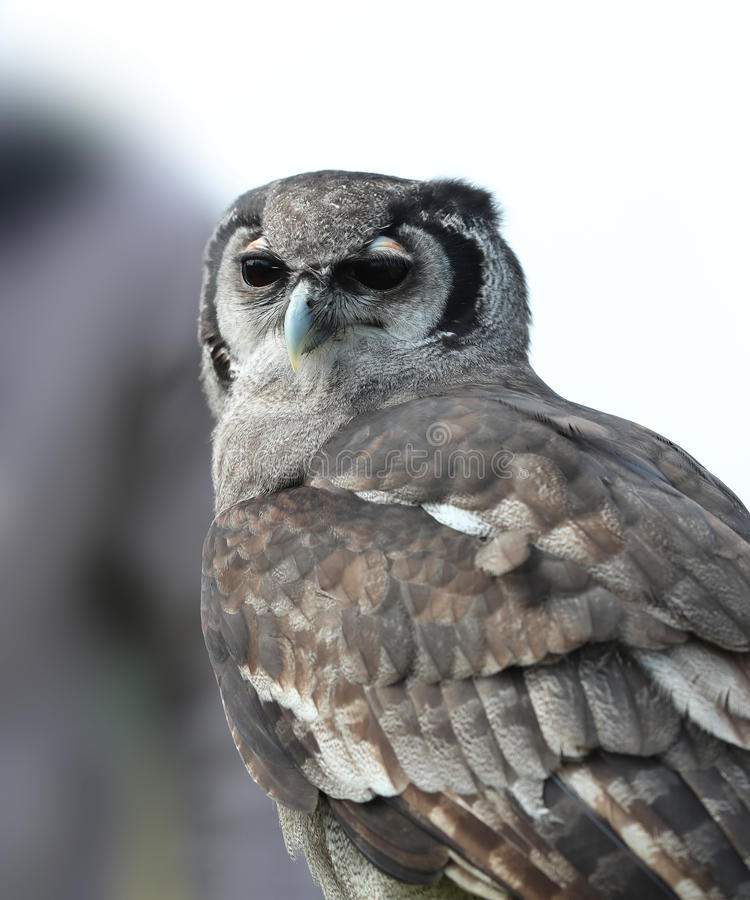 Verreaux ` s Eagle Owl stock foto