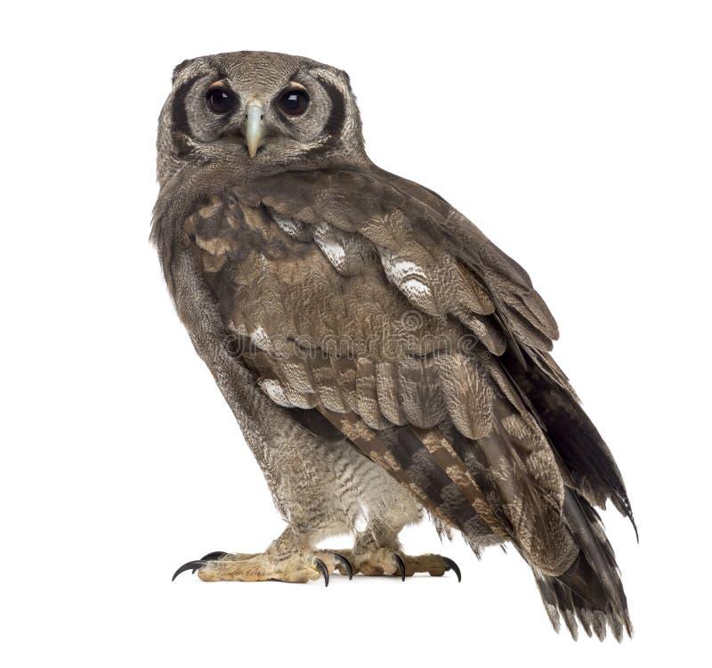 Free Verreaux S Eagle-owl - Bubo Lacteus Stock Photo - 63253740