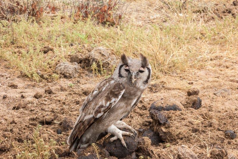Verreaux` s Eagle-uil stock fotografie