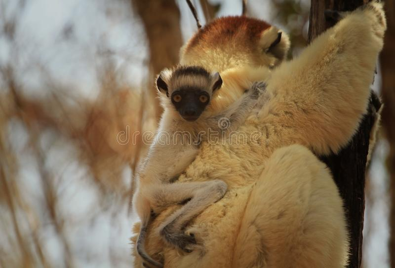 Verreaux`s sifakas newborn baby. 2-3 days holds on to the mother back stock image