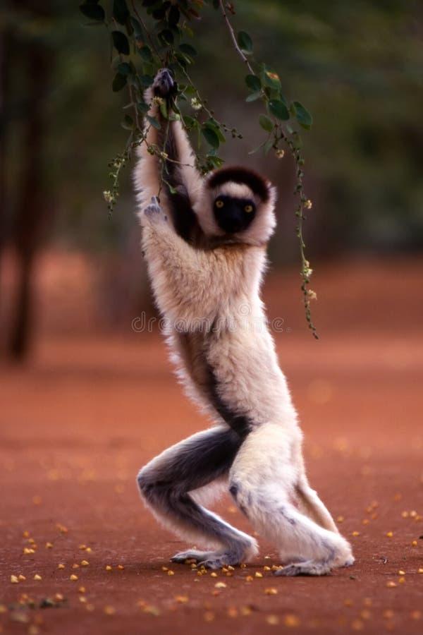 Verreaux Sifaka lemur fotografia royalty free