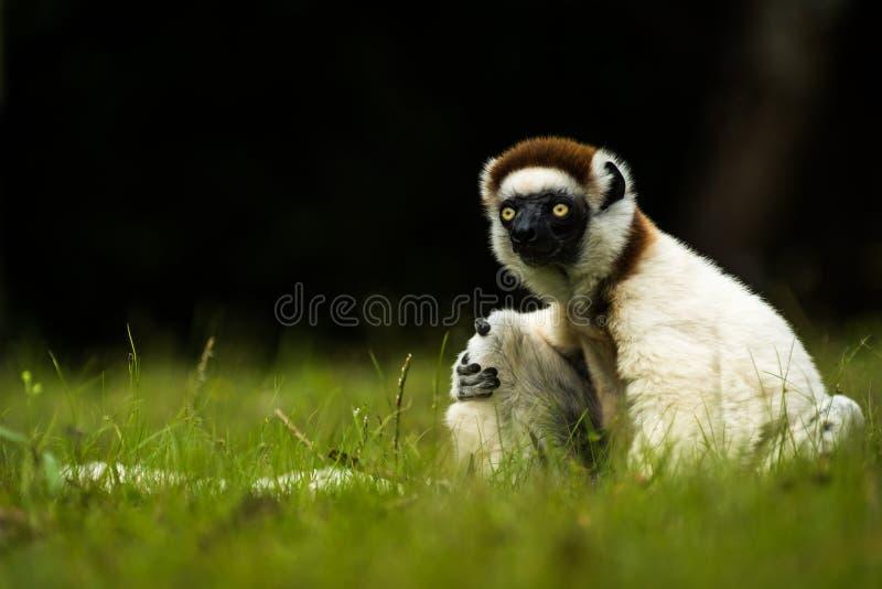 Verreaux Sifaka maki i Madagascar royaltyfria bilder