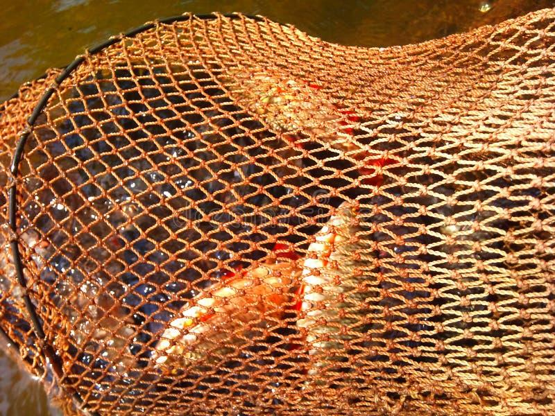 verriegelung Fische fingen ab lizenzfreies stockfoto