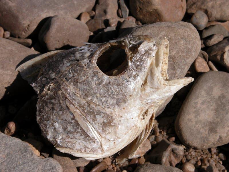 Verrottenfisch-Kopf auf den Fluss-Felsen stockfoto
