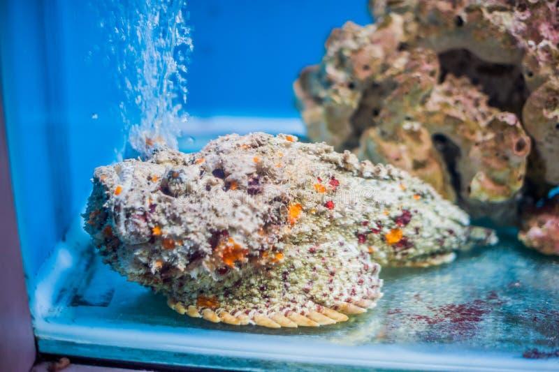 Verrucosa van ertsader stonefish Synanceia, als stonefish ook wordt bekend die Het wilddier stock foto