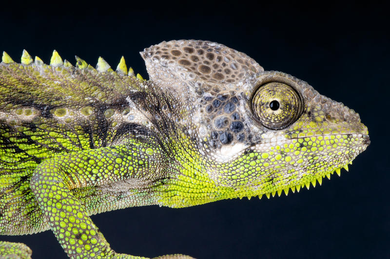 Verrucosus Warty do camaleão/Furcifer fotografia de stock