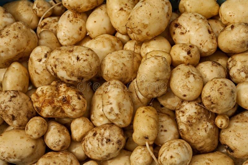 Vers aardappelgewas Verse organische ruwe aardappels royalty-vrije stock fotografie
