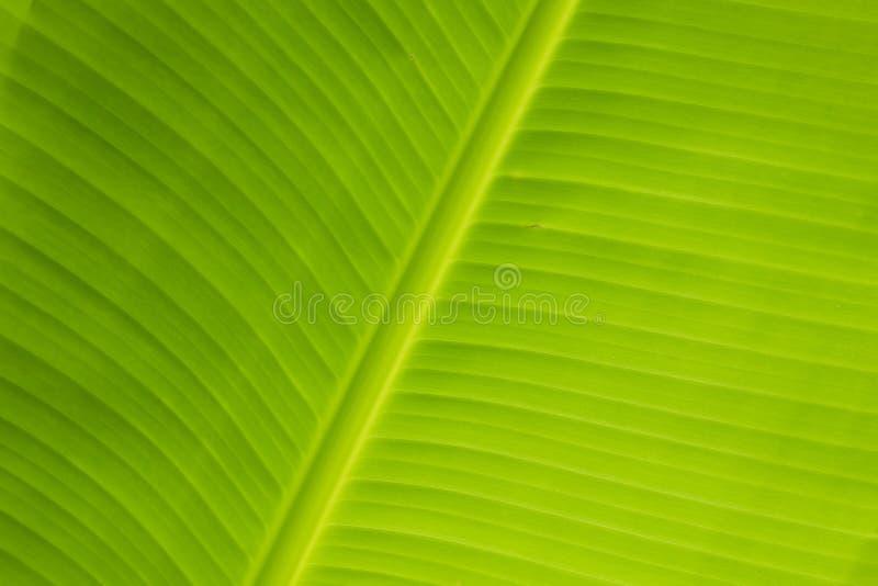 Vers banaanblad royalty-vrije stock fotografie