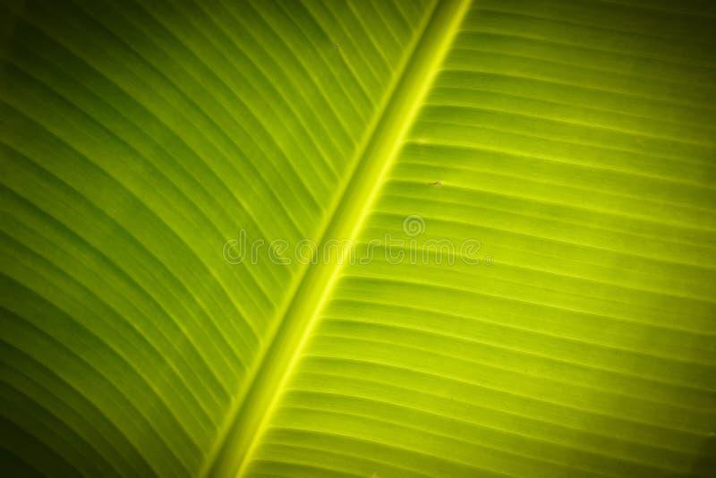 Vers banaanblad stock afbeeldingen