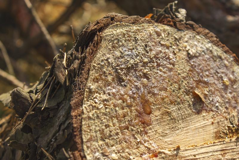 Vers de boom van de pijnboombesnoeiing in het bos met hars stock afbeelding