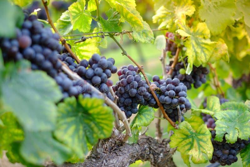 Vers de druiven van Shiraz voor wijnproductie royalty-vrije stock afbeelding