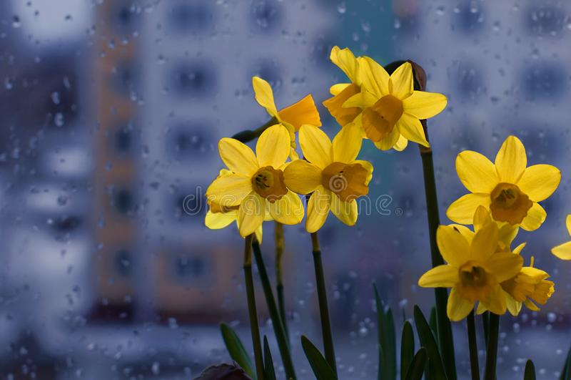 Vers de lenteboeket van gele narcissuses op een venster stock afbeelding