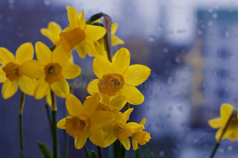 Vers de lenteboeket van gele narcissuses op een venster royalty-vrije stock foto