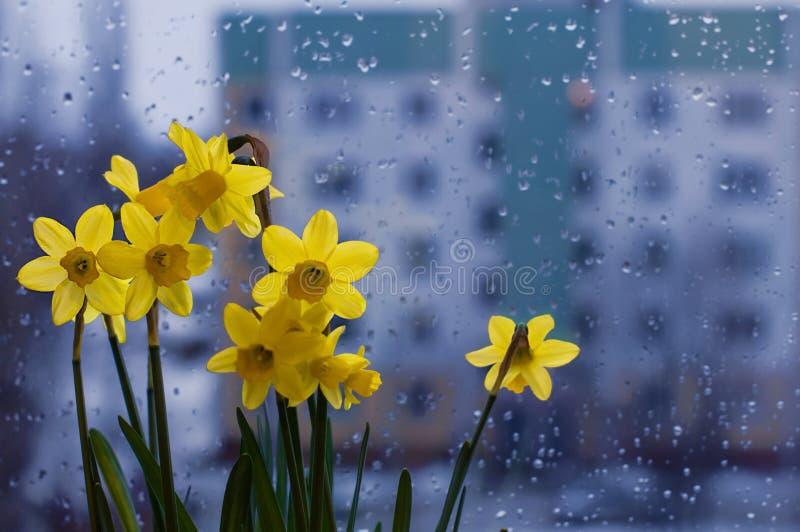 Vers de lenteboeket van gele narcissuses op een venster royalty-vrije stock foto's