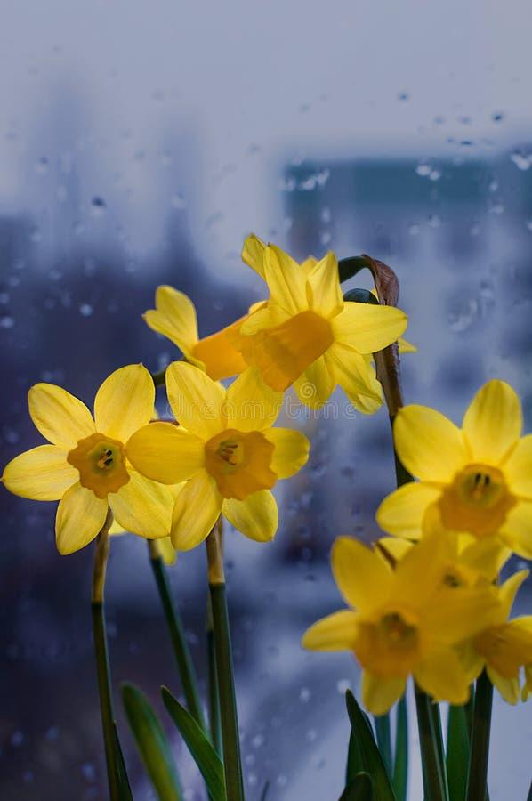 Vers de lenteboeket van gele narcissuses op een venster stock afbeeldingen