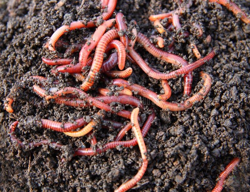 Vers de terre rouges en compost photo libre de droits