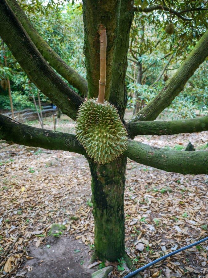 Vers durian fruit op boom stock afbeelding