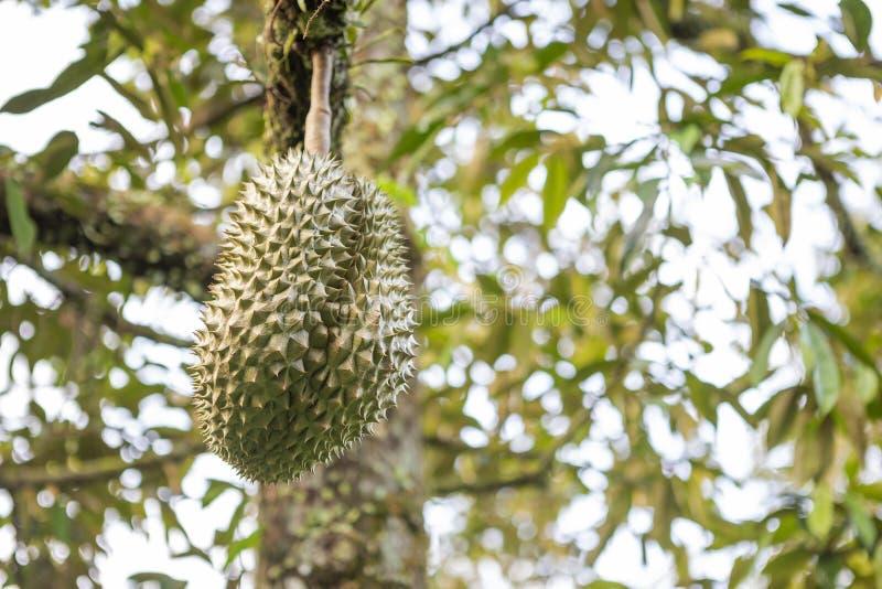 Vers Durian-fruit op de boom over vage achtergrond stock foto's