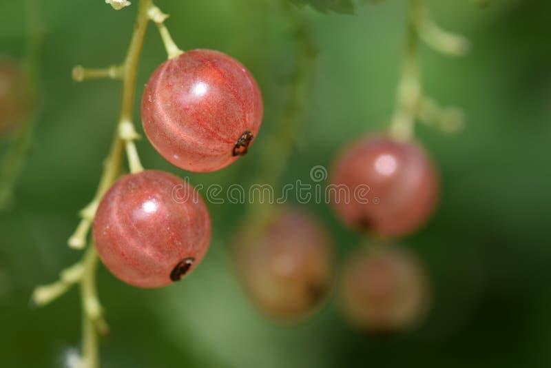 Vers fruit van mijn tuin stock foto