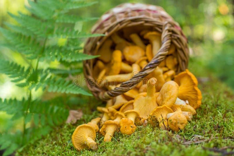 Vers geoogste paddestoelen in rieten mand in het bos stock fotografie