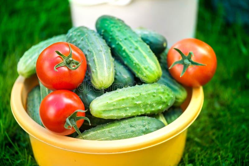 Vers geplukte rode rijpe tomaten en komkommers royalty-vrije stock fotografie