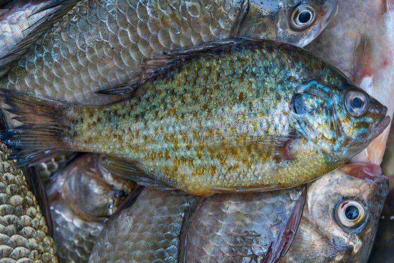 Vers gevangen riviervissen Crucians en zontoppositie Goede Vangst royalty-vrije stock fotografie