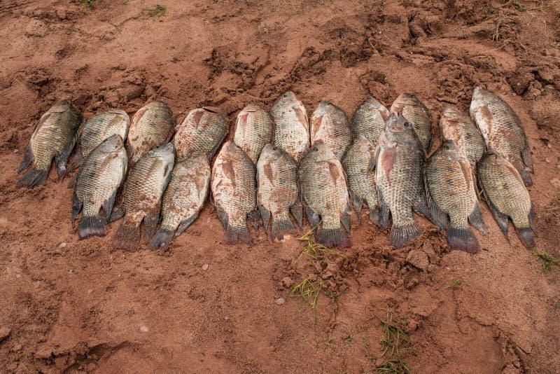 Vers gevangen Tilapa-vissen bij Meer Kariba royalty-vrije stock afbeelding