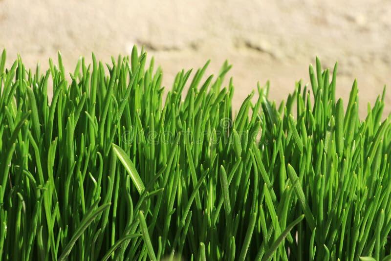 Download Vers gras stock afbeelding. Afbeelding bestaande uit plantkunde - 10782017