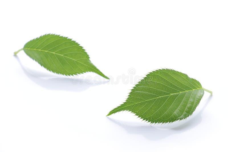 Vers groen blad op wit 2 royalty-vrije stock foto's