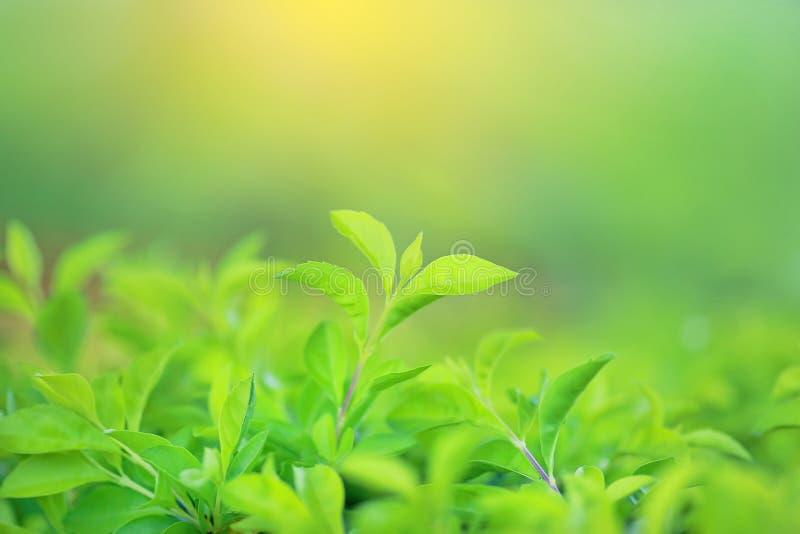 Vers groen boomblad op vage achtergrond in de de zomertuin met stralen van zonlicht stock afbeelding