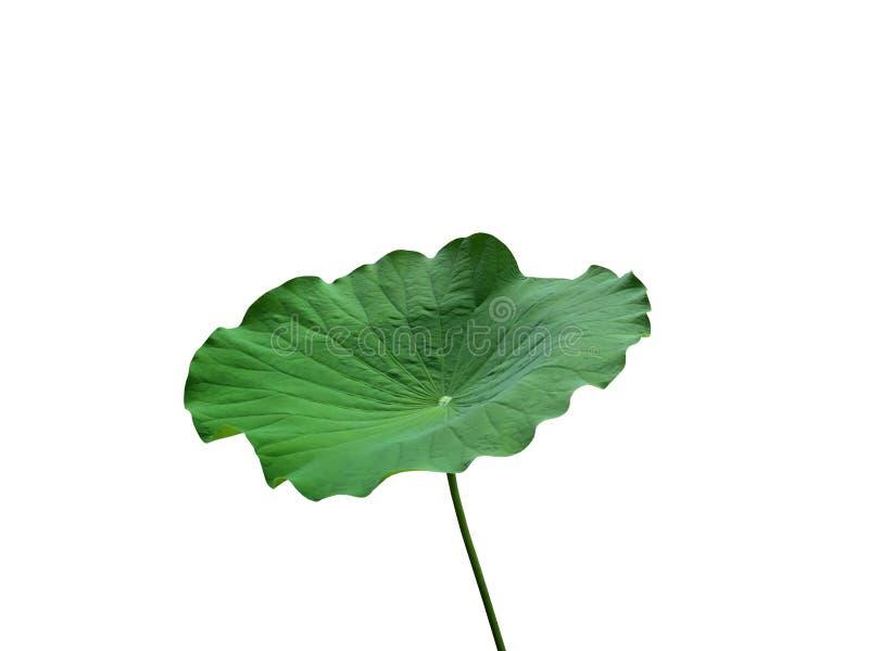 Vers groen die lotusbloemblad met steel op witte achtergrond wordt geïsoleerd royalty-vrije stock afbeeldingen
