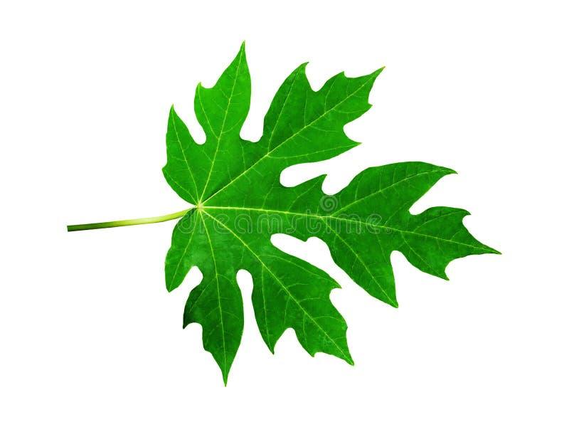Vers Groen die Papajablad op Witte Achtergrond wordt geïsoleerd stock foto