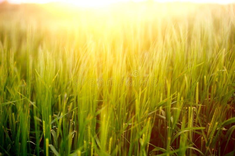 Vers groen gras op het de zomergebied op de warme zonlichtachtergrond stock fotografie