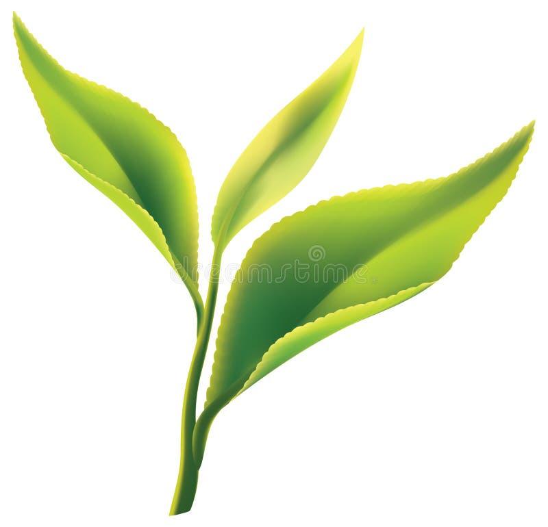 Vers groen theeblaadje op witte achtergrond royalty-vrije illustratie