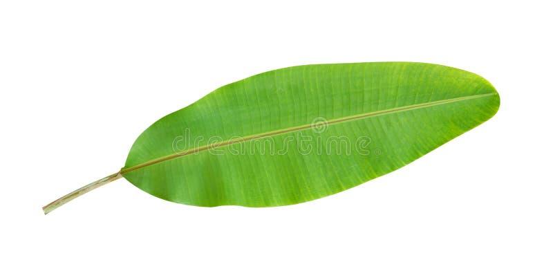 Vers groen tropisch banaanblad dat op witte achtergrond, weg wordt geïsoleerd stock foto