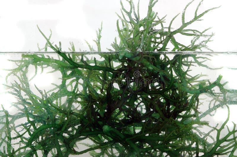 Vers groen zeewier in het water stock afbeeldingen