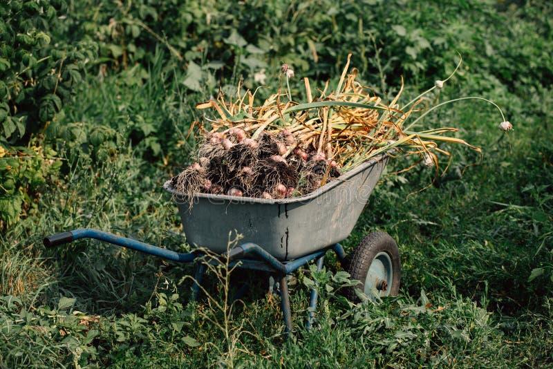 Vers knoflook in een kruiwagen op achtergrond van groen gras royalty-vrije stock afbeeldingen