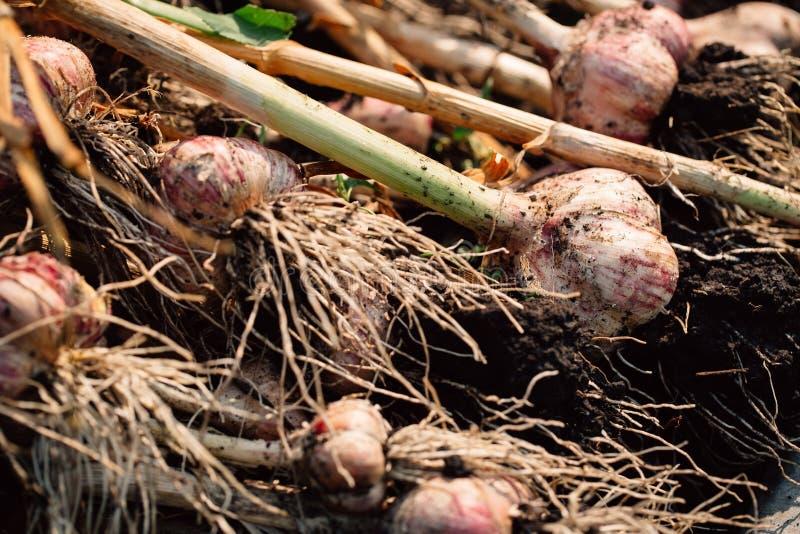 Vers knoflook met wortels van de tuinachtergrond royalty-vrije stock foto's