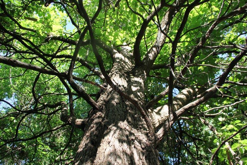 Vers le haut de l'arbre images libres de droits