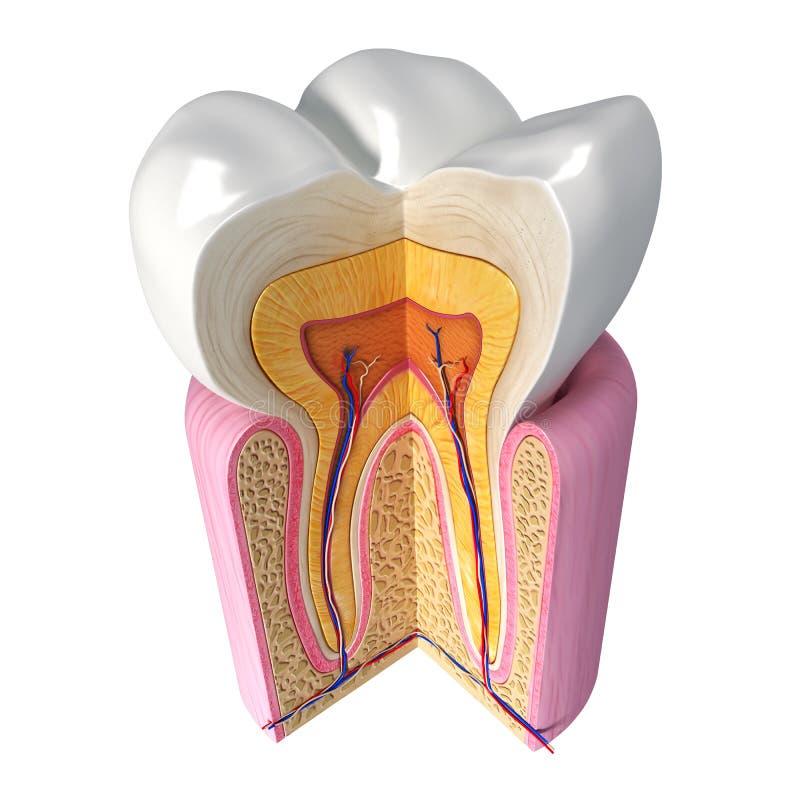 Vers le haut de la vue de côté de l'anatomie de dents illustration de vecteur