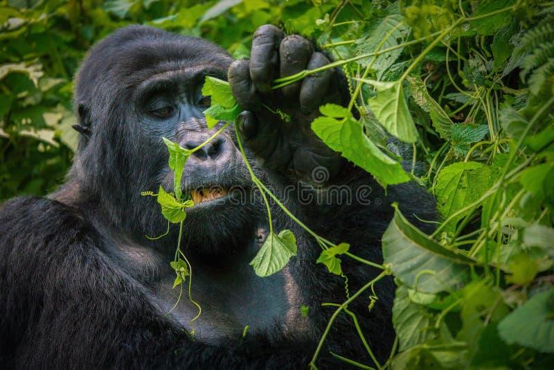 Vers le haut du regard étroit au visage d'un gorille de montagne de silverback comme il mâche sur des feuilles photographie stock