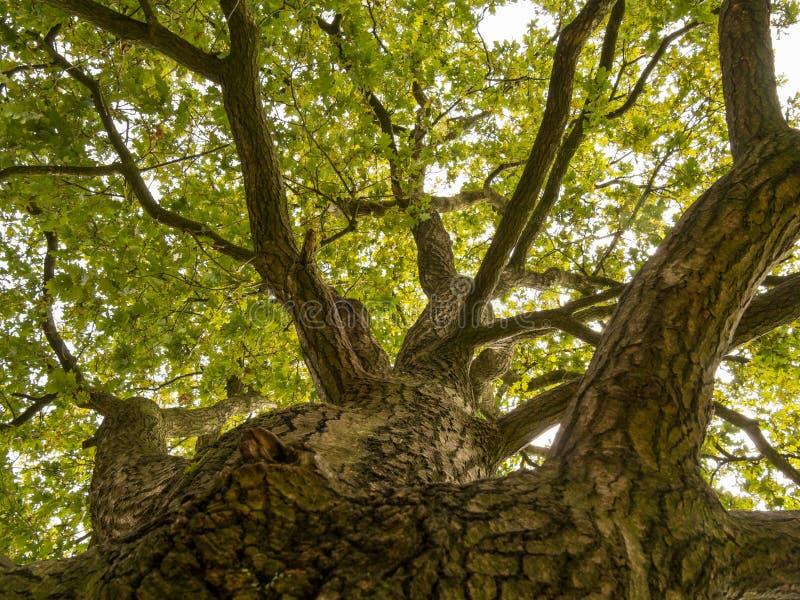 Vers le haut du tronc d'un grand chêne photos stock