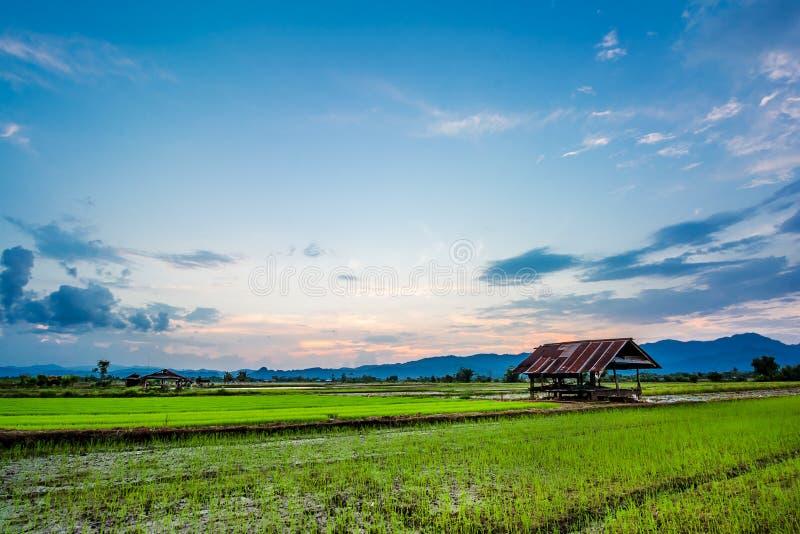 Vers padieveld op mooie zonsondergang stock foto