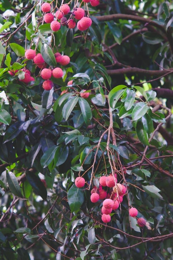Vers rood litchi op boom royalty-vrije stock foto's