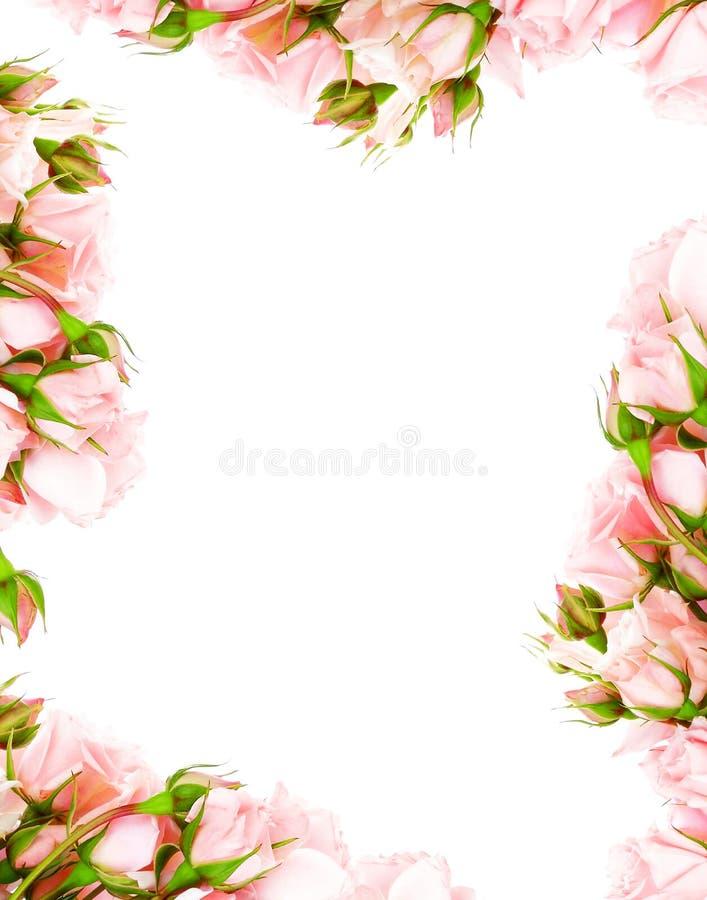Vers rozenframe stock afbeeldingen