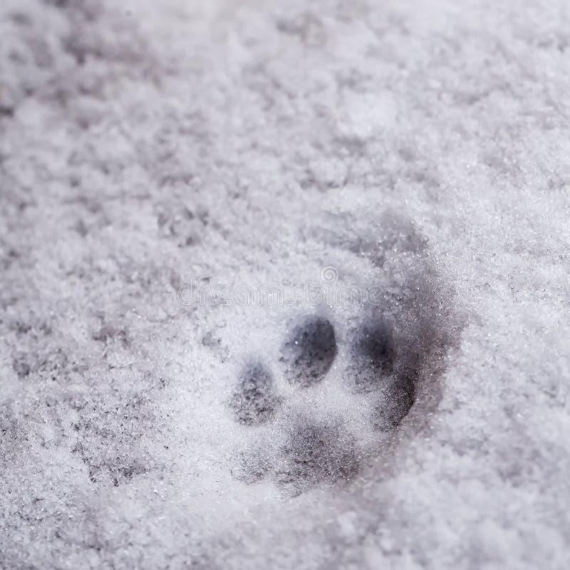 Vers spoor van de pootdruk van de kat op de witte sneeuw royalty-vrije stock fotografie