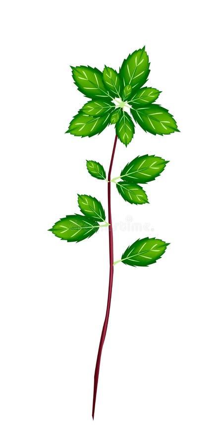 Download Vers Thais Basil Plant Op Witte Achtergrond Vector Illustratie - Illustratie bestaande uit eating, heilig: 39114637