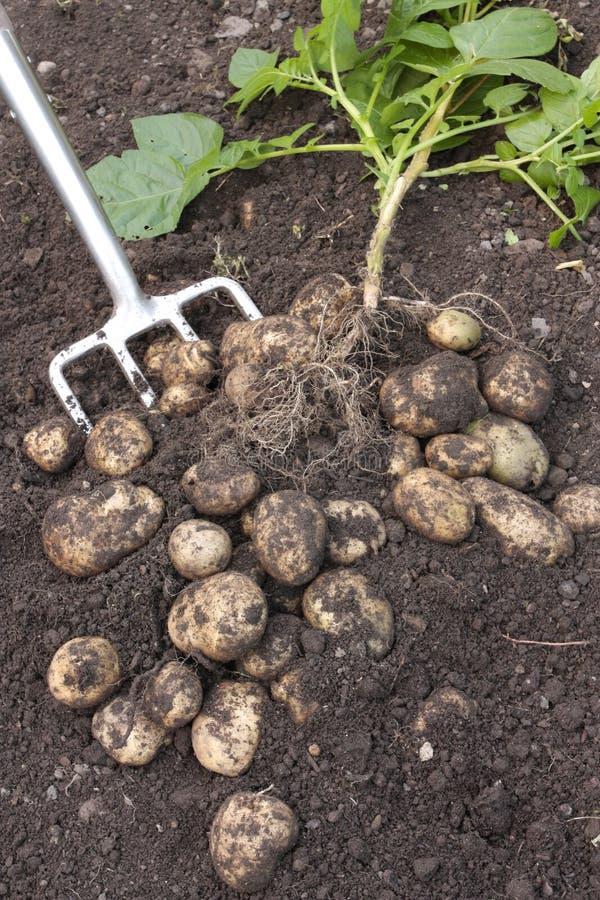 Vers uitgegraven aardappels en installatie royalty-vrije stock afbeeldingen