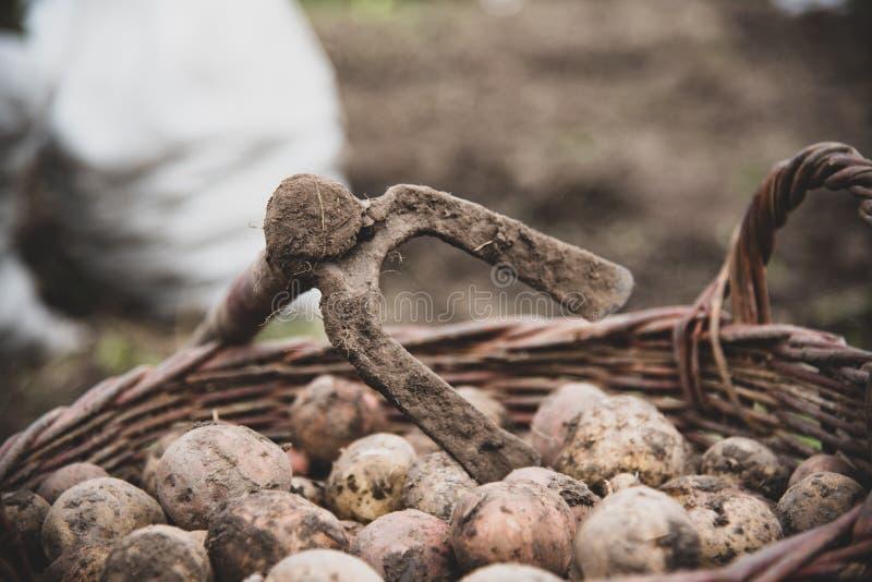 Vers verzamelde aardappels in rieten mand Schoffel - retro handhulpmiddelen om aardappel te graven Het oogsten royalty-vrije stock afbeeldingen