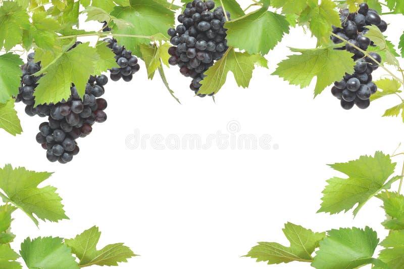Vers wijnstokframe met zwarte druiven royalty-vrije stock foto